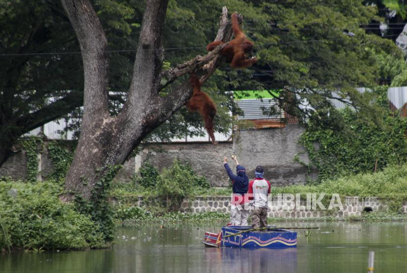 Petugas memberi makan orang utan koleksi Solo Zoo atau Taman Satwa Taru Jurug (TSTJ) Tori (kanan) dan anaknya Justin (kiri) di danau setempat, Solo, Jawa Tengah, Rabu (27/1/2021). Pengelola TSTJ berencana akan menutup sementara kunjungan untuk masyarakat pada Senin (1/2/2021) guna mencegah penyebaran COVID-19.