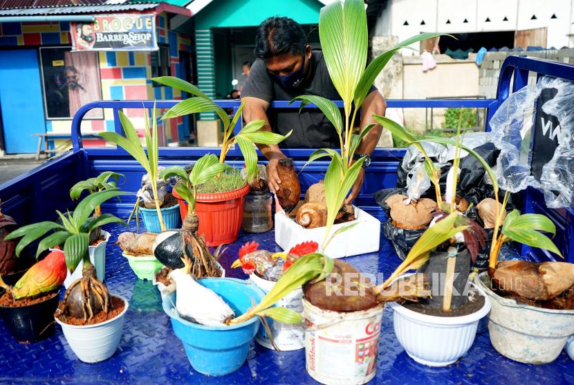 Budi Daya Bonsai Kelapa Makin Diminati Di Gorontalo Republika Online