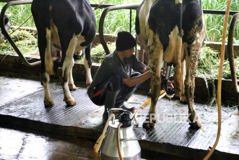Peternak bersiap memerah sapi dengan alat perah otomatis di peternakan sapi perah (ilustrasi)