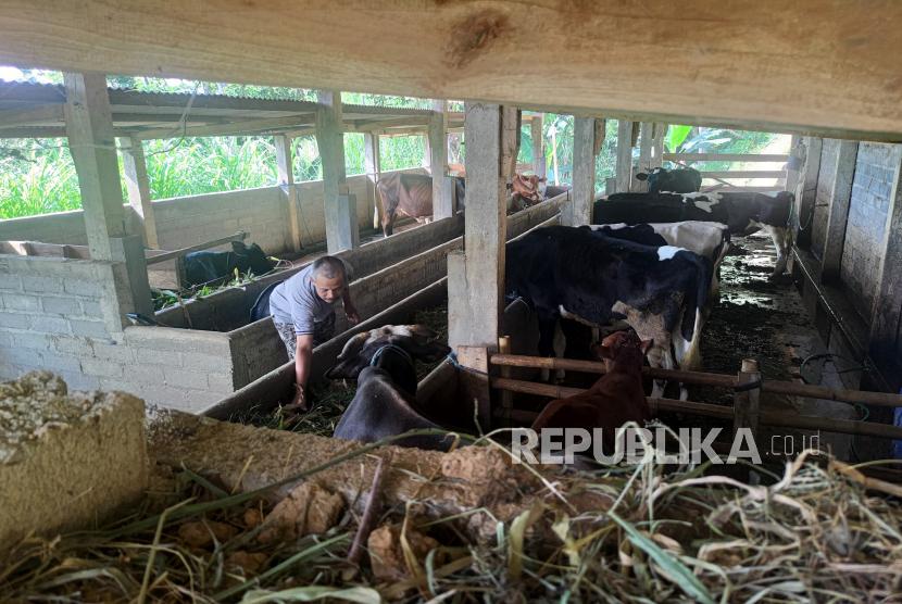 Peternak memberi pakan kepada sapi mereka di Desa Sidomulyo, Kecamatan Pagerwojo, Tulungagung, Jawa Timur, Selasa (8/6/2021). Sebanyak 26 ekor ternak sapi di daerah itu mati karena wabah antraks, dan  mulai menular ke manusia.