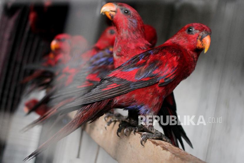 Sejumlah burung Nuri Merah Maluku (Eos Bornea) berada dalam kandang transit Balai Besar Konservasi Sumber Daya Alam (BBKSDA).