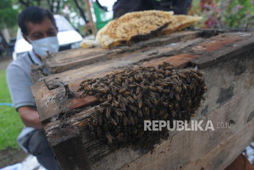 Seorang pembudidaya lebah madu Jawa memanen madu lebah Jawa yang dibudidayakan di Mudal, Boyolali, Jawa Tengah, Kamis (17/6/2021). Hasil budi daya lebah madu Jawa Apis Cerana tersebut dijual dengan harga Rp150 ribu per 200 mililiter yang telah dipasarkan ke Jakarta, Jawa Timur, Yogyakarta dan Solo.