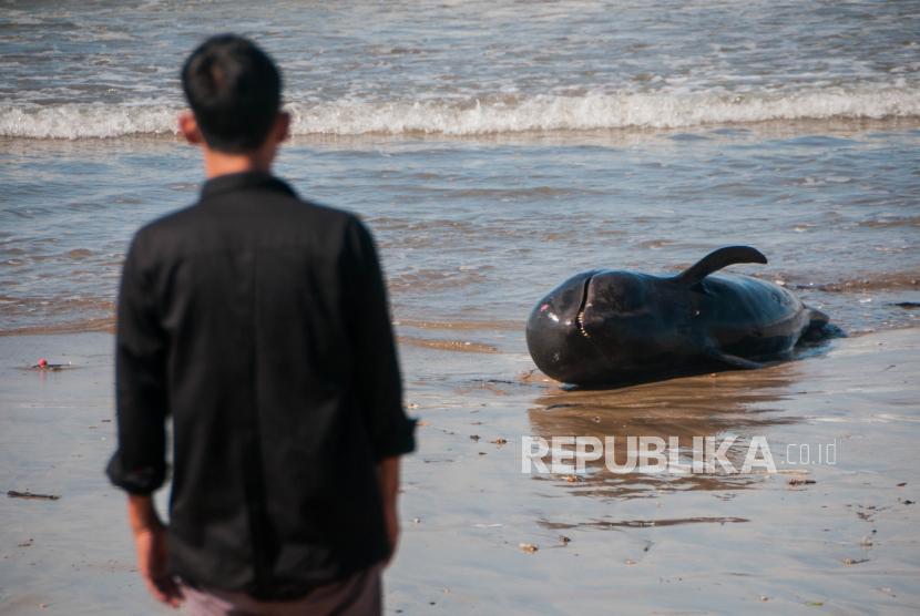 Warga melihat kondisi paus pilot yang mati terdampar di pantai Cemara Binuangeun, Lebak, Banten, Selasa (12/5/2020). Menurut keterangan warga setempat paus pilot dengan panjang sekitar dua meter tersebut terseret ombak hingga akhirnya terdampar di bibir pantai dan mati sejak sejak Senin (11/5) dini hari
