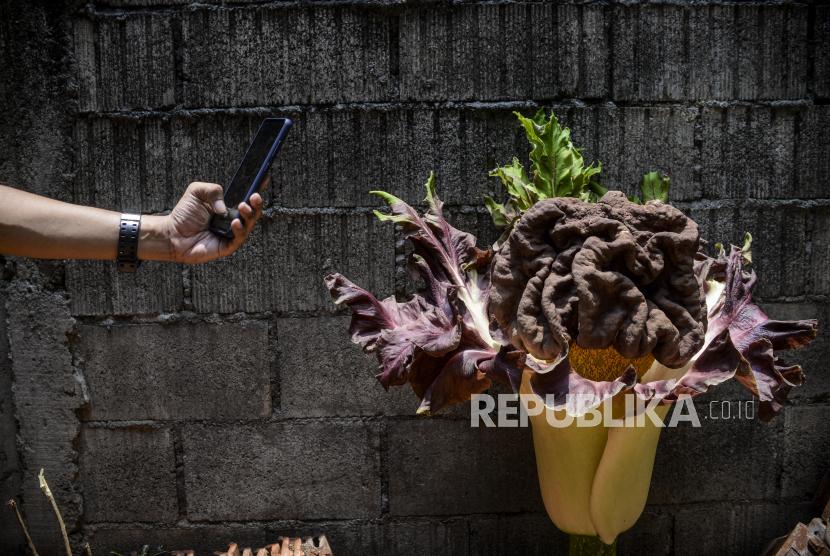 Warga memotret bunga bangkai. (ilustrasi)