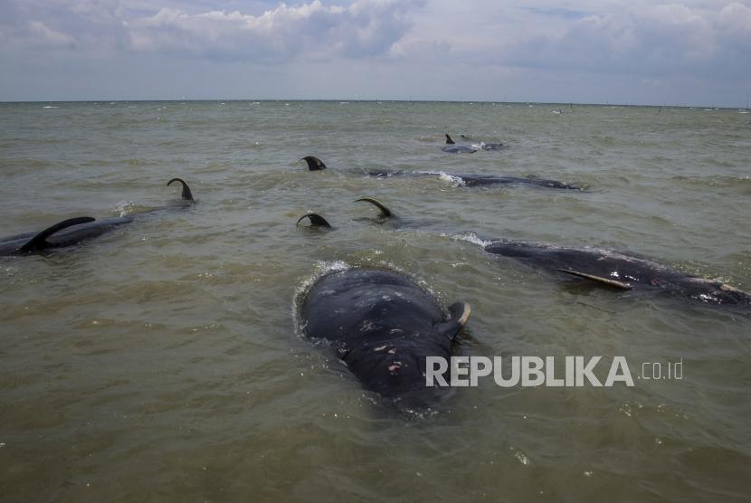 Bangkai paus pilot sirip pendek terdampar di pantai di Bangkalan, Pulau Madura, Jawa Timur, Indonesia, 19 Februari 2021. Puluhan paus pilot bersirip pendek terdampar di perairan dangkal di pulau Madura, Kementerian Kelautan dan Perikanan mengumumkan .