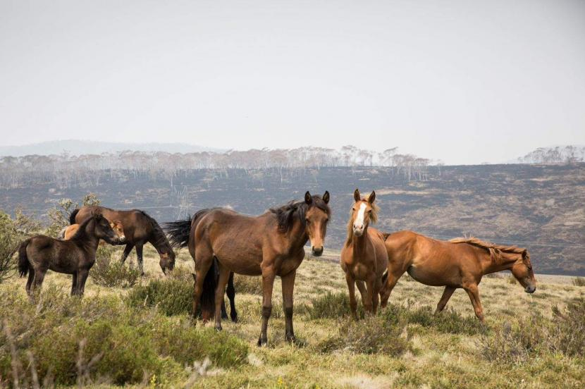 Kuda Liar di Australia kan Dibasmi Dengan Ditembaki dari Udara
