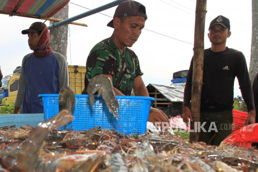 Sejumlah pekerja menyortir udang vaname binaan TNI AD di area tambak udang Desa Suak Seukee, Kecamatan Samatiga, Aceh Barat, Aceh.