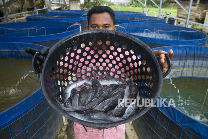 Anggota Kelompok Pembudidaya Ikan (Pokdakan) Sukmakarya menunjukan hasil panen ikan lele di kolam Bioflok di Desa Sukamaju, Sukatani, Purwakarta, Jawa Barat, Rabu (24/3/2021). Kementerian Kelautan dan Perikanan terus berupaya memberikan stimulus melalui program prioritas bantuan sarana dan prasarana budi daya ikan lele sistem bioflok guna meningkatkan perekonomian masyarakat di tengah pandemi COVID-19.