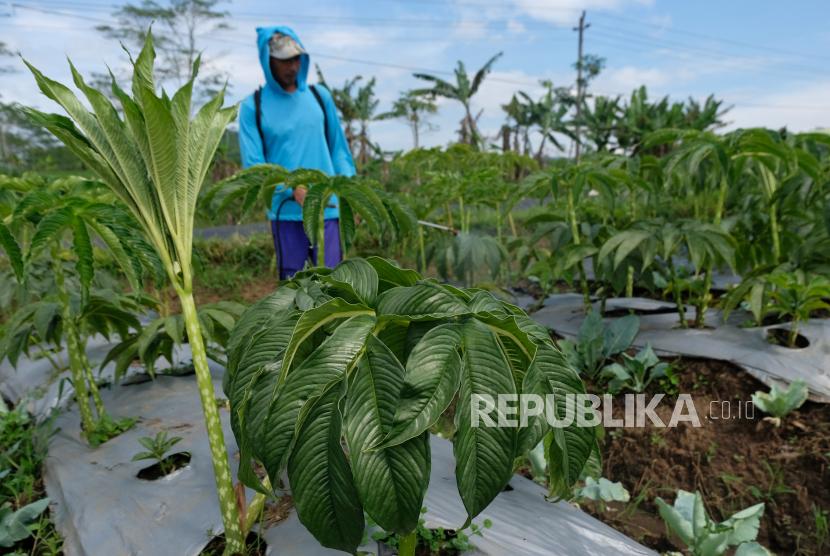 Petani merawat tanaman porang (Amorphophallus muelleri) di Desa Ngadimulyo, Kedu, Temanggung, Jawa Tengah.