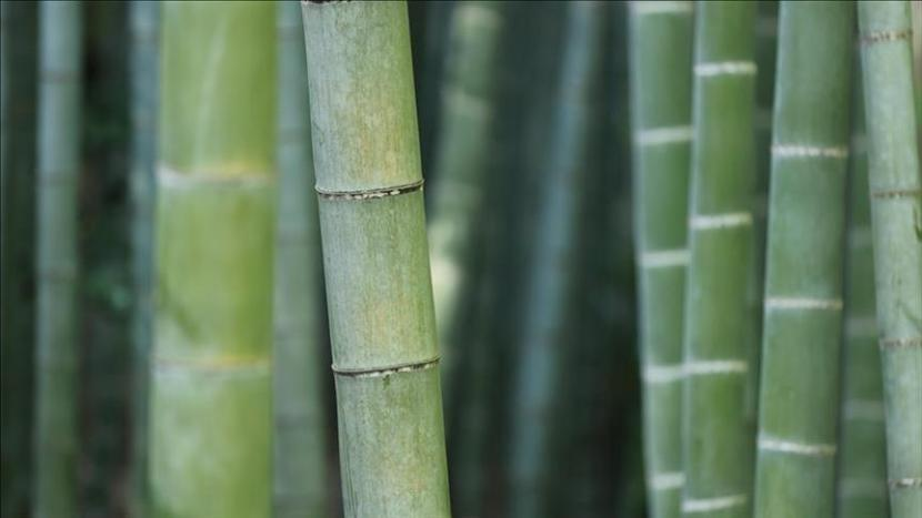 Para ahli mengatakan budidaya bambu membantu membalikkan efek perubahan iklim.