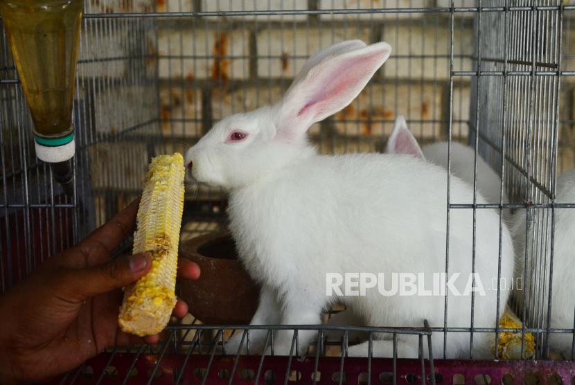 Peternak memberi makan kelinci jenis Australia (ilustrasi).