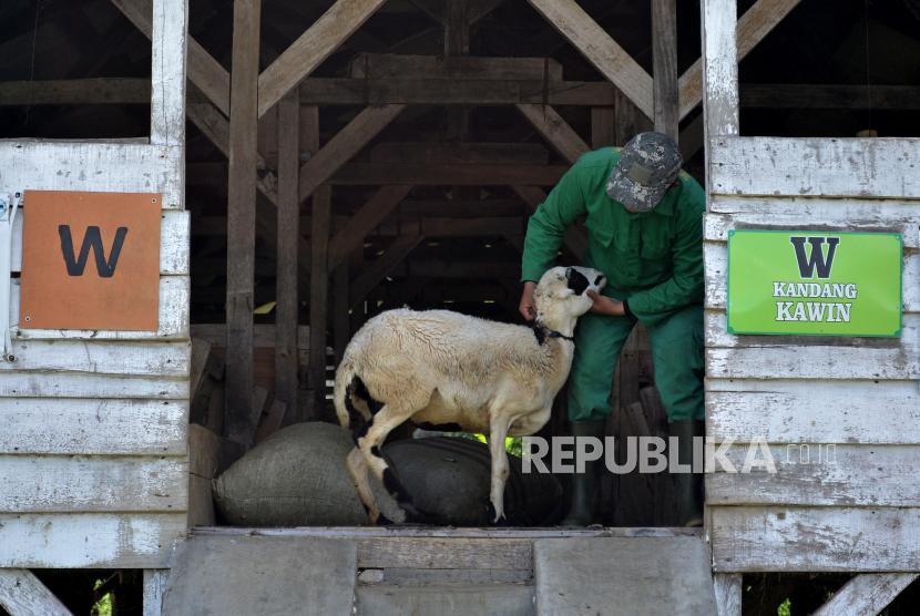 Garut Bangun Balai Pembibitan Domba Garut untuk Jaga Genetik (ilustrasi).