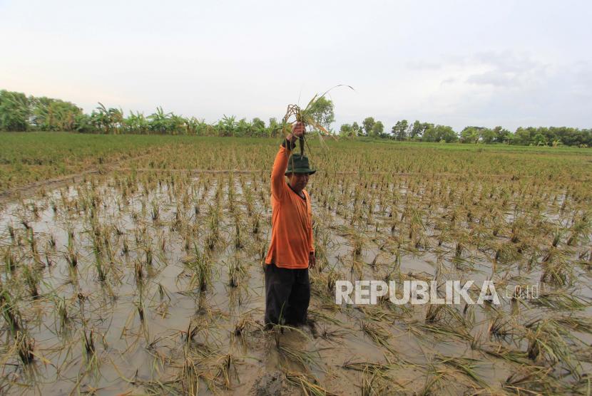 Petani mengamati padi yang rusak di sawahnya akibat terendam banjir di Pangauban, Kecamatan Lelea, Kabupaten Indramayu, Ahad (14/2/2021).