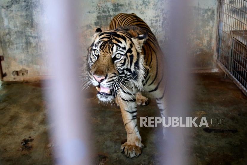 Harimau jantan, Hari di dalam kandang setelah menjalani tes swab Covid-19 di Kebun Binatang Ragunan di Jakarta, Indonesia, 02 Agustus 2021.