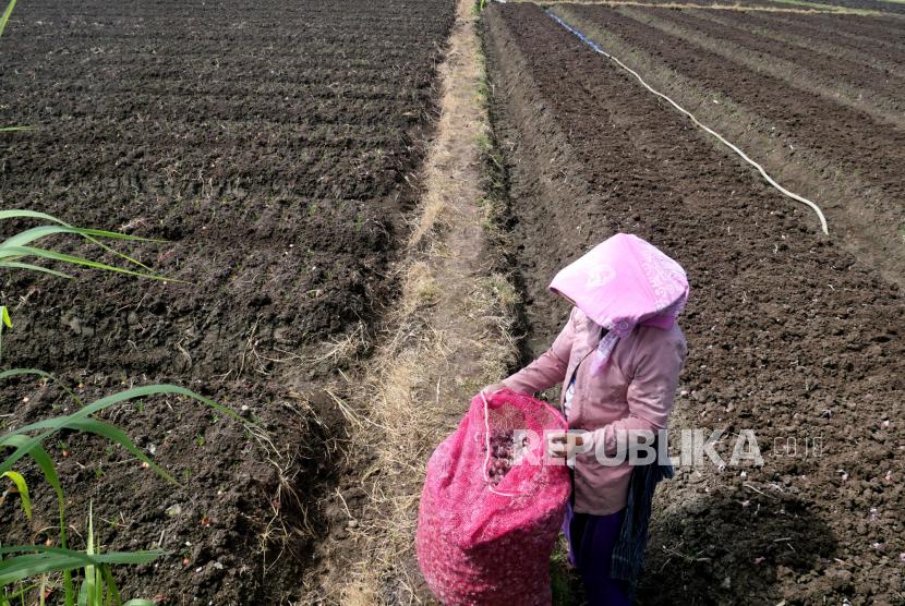 Petani menanam bibit bawang merah di lokasi pertanian cabai (ilustrasi).