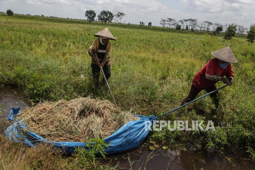 Petani menarik padi hasil panennya melalui saluran irigasi di Desa Talio Hulu, Kabupaten Pulang Pisau, Kalimantan Tengah, Ahad (19/9/2021). Kementerian Pertanian (Kementan) menyampaikan, musim penghujan pada akhir tahun ini diperkirakan tiba lebih cepat berdasarkan laporan BMKG.