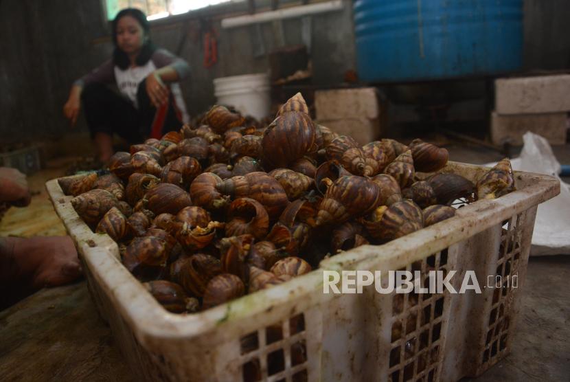 MUI DIY Rekomendasikan tak Makan Bekicot. Foto: Pekerja mengeluarkan daging bekicot dari cangkangnya di Dusun Tunggulmoro, Desa Kutoporong, Kecamatan Bangsal, Kabupaten Mojokerto, Jawa Timur, Sabtu (20/6/2020). Penjual daging becikot kini hanya bisa memasarkan 25 kg dari sebelumnya 1 ton per dua hari karena masih banyak warung yang menjual olahan daing tersebut tutup selama pandemi COVID-19