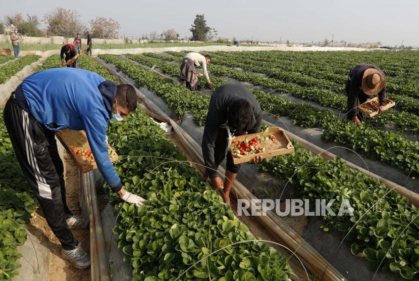 Petani Palestina memetik stroberi segar dari kebun keluarganya, pada dini hari di Beit Lahiya, Jalur Gaza utara, Rabu, 6 Januari 2021.