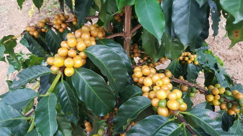 Kopi Yellow Caturra: Kopi Yellow Caturra berbeda dengan kopi-kopi arabika lainnya yang berwarna merah