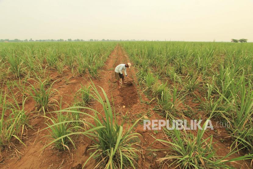 Petani menggarap lahan tebu desa Kerticala, Kecamatan Tukdana, Indramayu, Jawa Barat, Senin (23/11). Pendapatan petani tebu menjadi unsur terpenting jika Indonesia ingin kembali mencapai swasembada gula.
