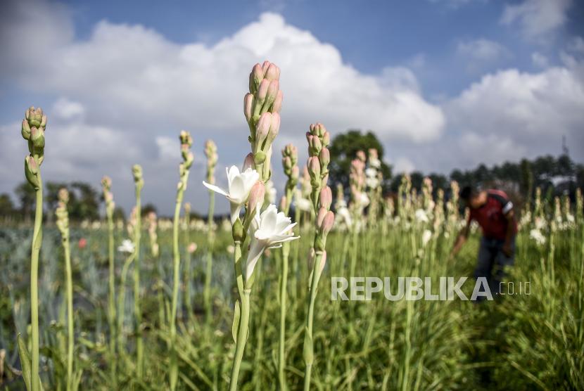 Petani Keluhkan Penjualan Bunga Sedap Malam Republika Online