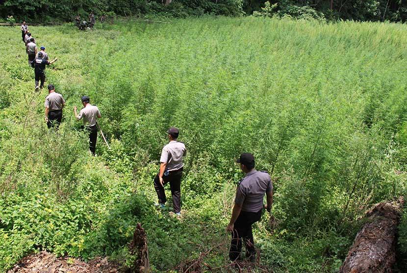 Polisi berjalan menuju ladang tanaman ganja  siap panen di Desa Pulo, Kawasan Pegunungan Seulawah, Aceh Besar, Aceh, Rabu (19/8).  (Antara/Ampelsa)