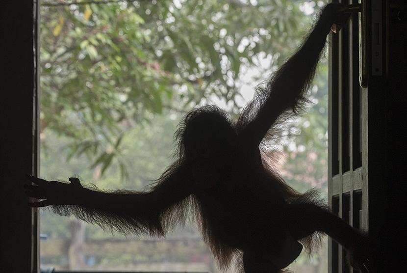 Bayi orang utan bermain di dalam rumah perawatan (nursery) di Yayasan Penyelamatan Orangutan Borneo (BOSF) di Arboretum Nyaru Menteng, Kalimantan Tengah, Senin (5/10).   (Antara/Rosa Panggabean)