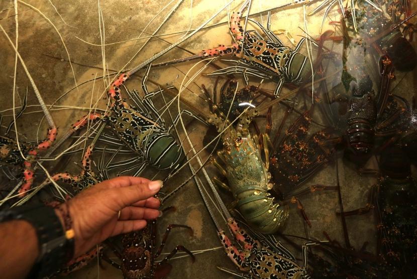 Bc Soekarno Hatta Gagalkan Ekspor Lobster Ilegal Ke Vietnam Republika Online