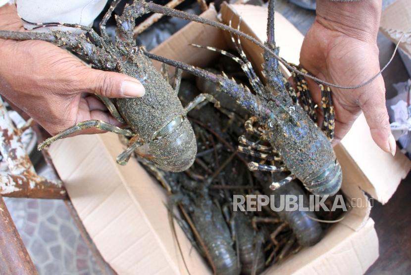 Pakar IPB Tawarkan Roadmap Pengembangan Lobster Nasional
