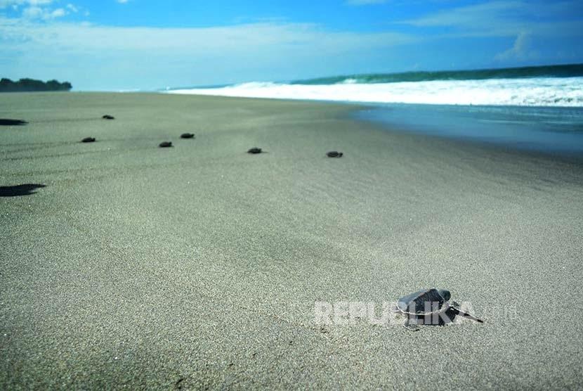Tukik atau anak penyu menuju lautan di tempat pelestarian penyu Pondok Jaga Tegal Sereh di Pantai Sindangkerta, Kabupaten Tasikmalaya. (Republika/Edi Yusuf)