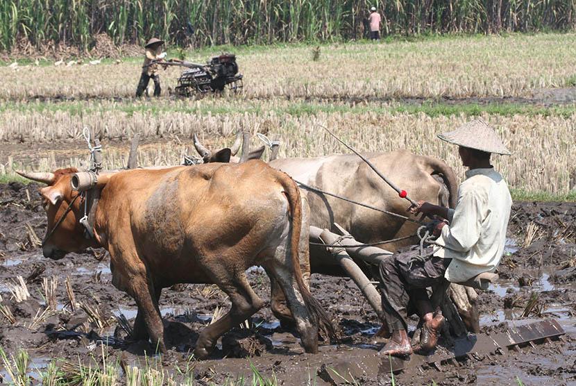 Dua petani membajak sawah dengan tenaga sapi.