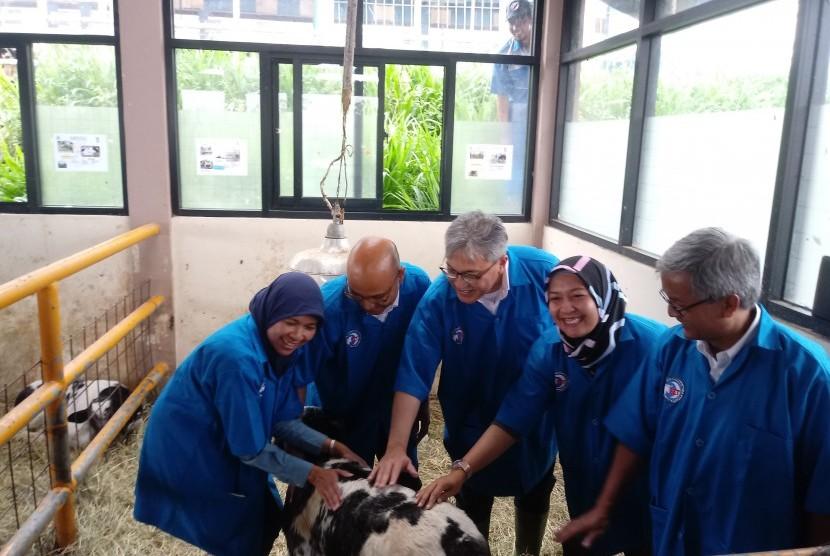 Duta Besar Indonesia untuk Belgia dan Keharyapatihan Luksemburg Yuri  Oktavian Thamrin (tengah) saat melihat sapi Belgian Blues di Bogor, Senin  (5/11).