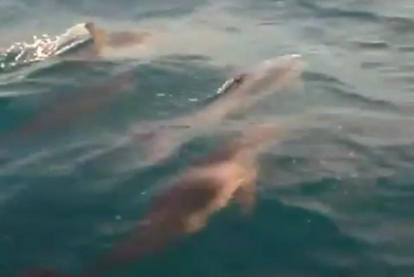 Kawanan lumba-lumba terlihat di sekitar pulau Tidung, Kepulauan Seribu, Senin (7/1).