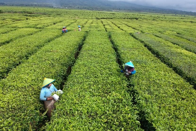 Pekerja memetik pucuk daun teh di area perkebunan PT Perkebunan Nusantara (PTPN) VI, Kayu Aro, Kerinci, Jambi, Senin (14/1/2019).