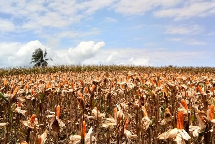 EKSPOR JAGUNG: Hamparan bukit pertanaman komoditas jagung di Kabupaten Gorontalo Utara, Provinsi Gorontalo, menjelang musin panen raya, Kamis (28/2). Tahun ini, Provinsi Gorontalo menargetkan produksi jagung sebesar 1,7 juta ton sekaligus ekspor 150 ribu ton ke Filipina.
