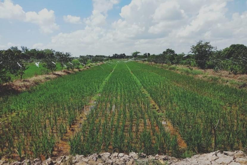 Kondisi lahan rawa di Kabupaten Batola, Kalimantan Selatan, Sabtu (25/5). Kementerian Pertanian (Kementan) berharap, Kalimantan Selatan dapat menjadi salah satu lumbung beras nasional.