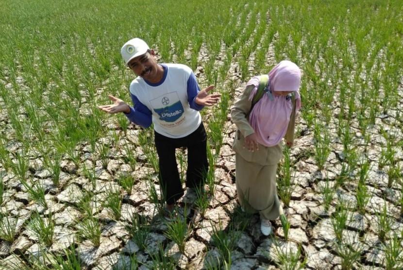 Ratusan hektare tanaman padi di Kecamatan Kandanghaur, Kabupaten Indramayu mengalami kekeringan parah di musim tanam gadu 2019, Senin (10/6).