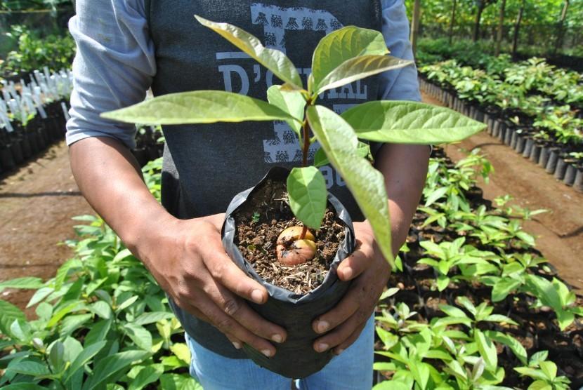 Petani menunjukkan bibit tanaman buah alpukat di kawasan Kampung Alpukat, Pabuaran, Mulyaharja, Kota Bogor, Jawa Barat, Kamis (27/6/2019).