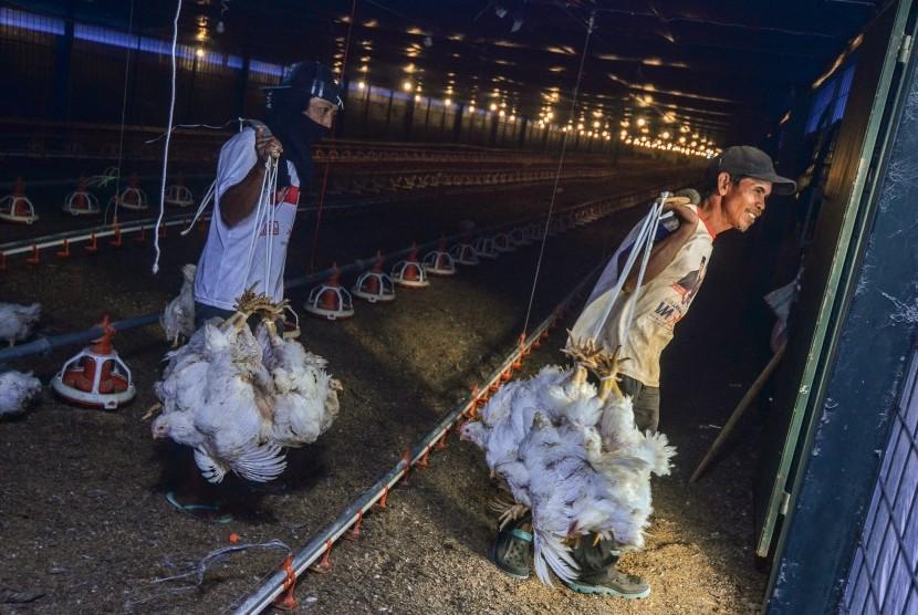 Pekerja memanen ayam broiler dengan sistem kandang tertutup atau close house di Peternakan Naratas Poultry Shop, Kampung Alinayin, Kabupaten Ciamis, Jawa Barat, Jumat (28/6/2019).