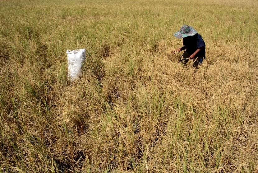 Petani memilah bulir padi yang masih bisa dipanen di area persawahan Pattallassang yang terdampak kekeringan, Gowa, Sulawesi Selatan, Senin (22/7/2019).