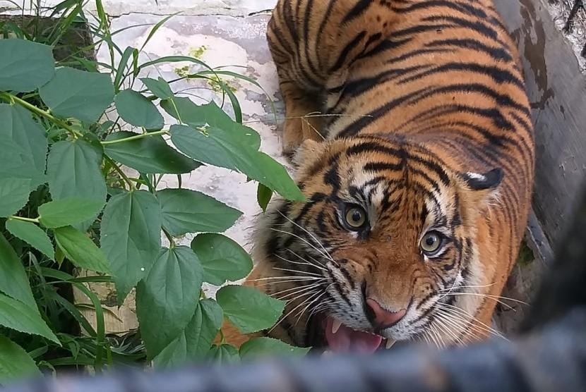 Harimau Sumatra Terekam Warga di Lintasan Jalan Bener Meriah. Ilustrasi