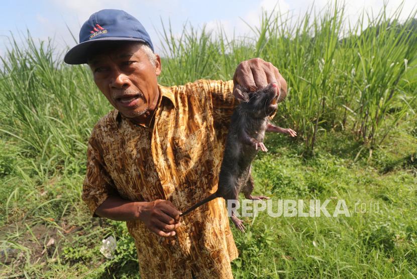 Petani memperlihatkan tikus yang ditangkap menggunakan perangkap di area persawahan