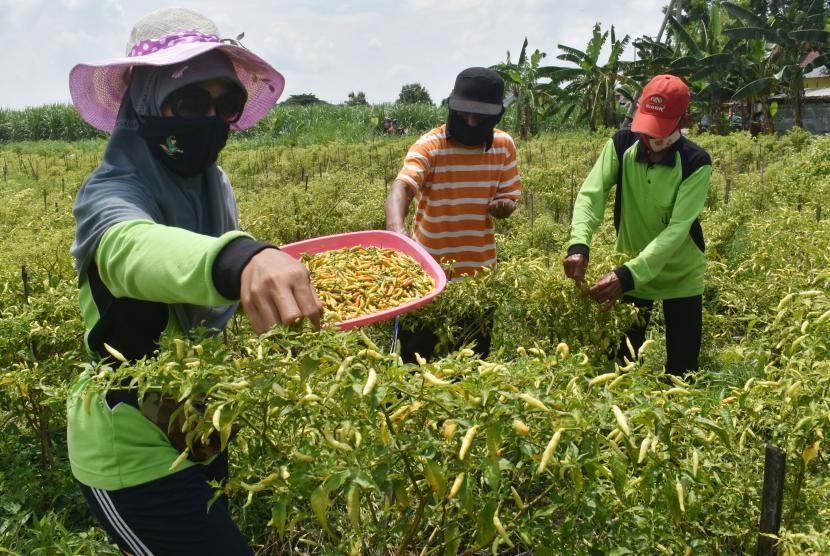 Anggota kelompok tani Nambangan Lor memanen cabai rawit di lahan tidur milik Pemkot Madiun di Kota Madiun, Jawa Timur, Kamis (7/1). Pemerintah melalui Kementerian Pertanian (Kementan) menyatakan akan memulai gerakan tanam cabai sebagai antisipasi penurunan produksi akibat bencana banjir di sejumlah daerah.