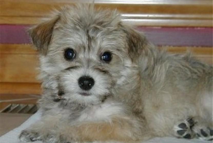 Anjing Terrier Cross