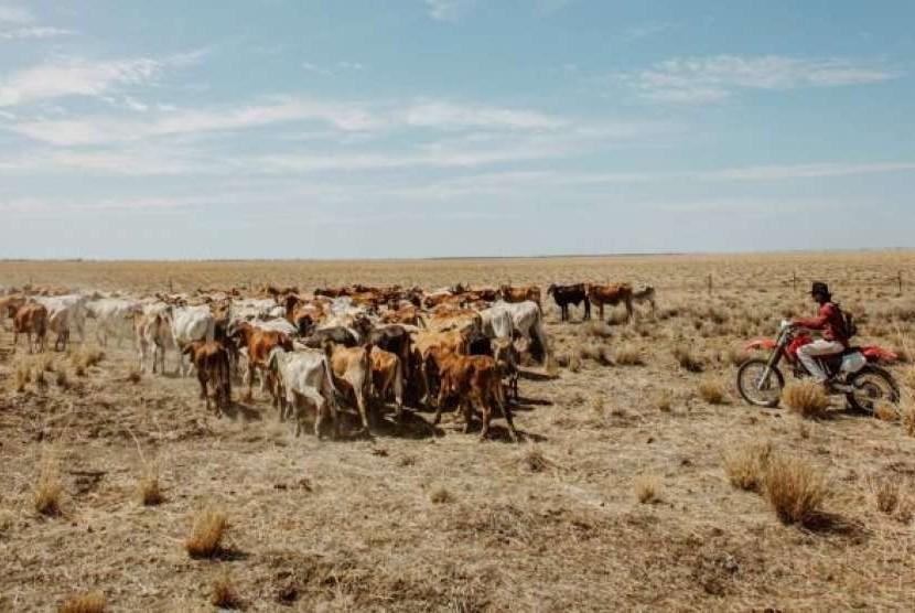 Banyak peternak di Australia sedang kesulitan untuk menemukan dan membeli pakan bagi hewan ternaknya.