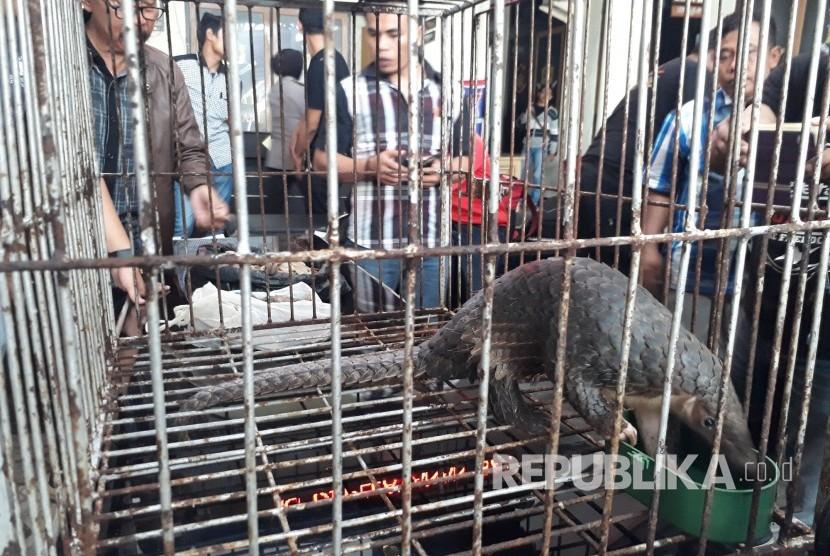 tak-dikonsumsi-di-indonesia-trenggiling-diekspor-ilegal