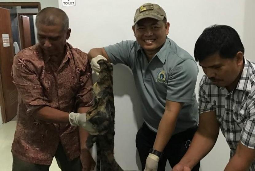 Barang bukti satu kulit harimau Sumatera yang berhasil disita Balai Penegakan Hukum (Gakkum) Kementerian Lingkungan Hidup dan Kehutanan (LHK) Sumatera, Ahad (22/7) di Jambi.