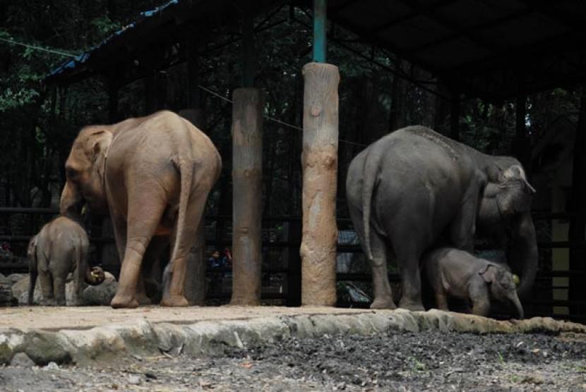 Bayi Gajah Sumatera (Elephas maximus sumatranus) bermain bersama induknya di Kebun Binatang Ragunan, Jakarta Selatan, Jumat (26/12). Kelahiran bayi-bayi gajah tersebut menambah koleksi Gajah Sumatera di Taman Margasatwa Ragunan menjadi 14 ekor.