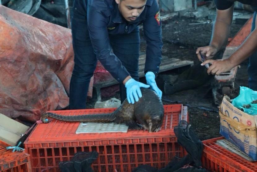 Bea Cukai Dumai berhasil menggagalkan upaya penyeludupan trenggiling yang diduga akan diekspor melalui pelabuhan tikus, pada Kamis (5/10).