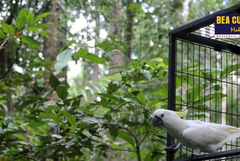Bea Cukai Sorong lepasliarkan burung endemik Papua.